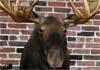 BCS Moose