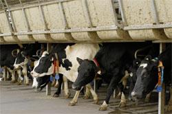Cows In Australia Biotech Research