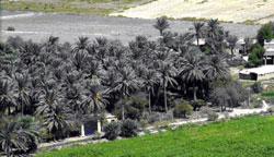 Iraq Date Palm Farm