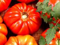 Uglyripe Tomato