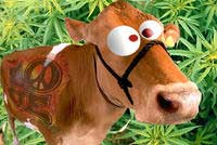 Stoned Cow