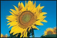 Mycogen Sunflower Varieties