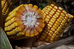 2007 Corn Photo Contest Grand Prize Winner