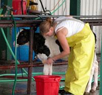 Calf Washing